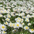 Daisy by DES PALMER