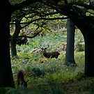 Deers in Richmond Park by akwel