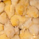 Huddled Chicks by Kuzeytac
