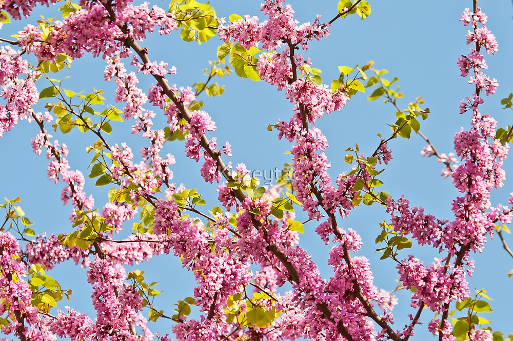 Judas Tree Flower And Leaves by Kuzeytac