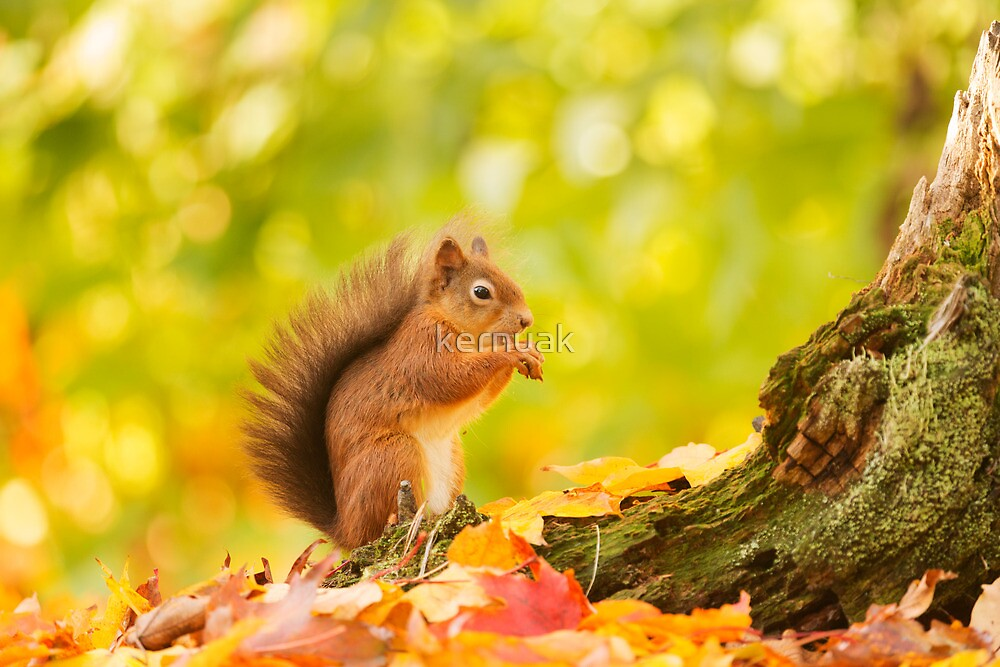 Red Squirrel Feeding Time by kernuak
