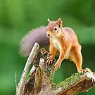 Red Squirrel Balancing Act by kernuak