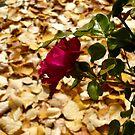 Harvest Rose by Jess Meacham