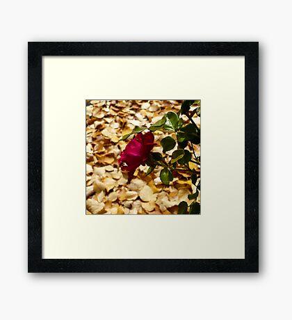 Harvest Rose Framed Print