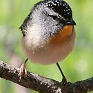 Gorgeous George - male spotted pardalote by Denzil