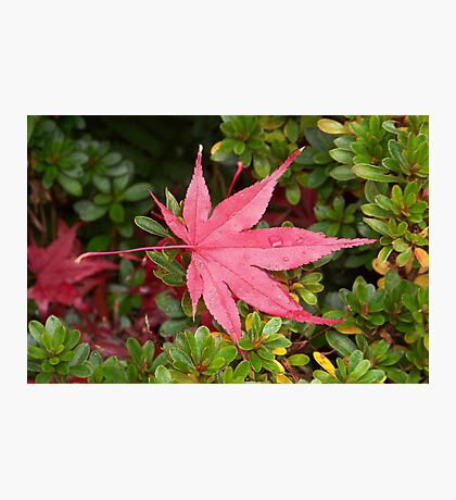 Japanese Maple Leaf Photographic Print
