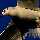 Fan Of The Gull by snapdecisions
