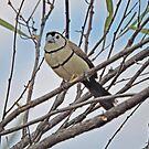 Double Barred Finch - Taeniopygia Bichenoii by Margaret  Hyde