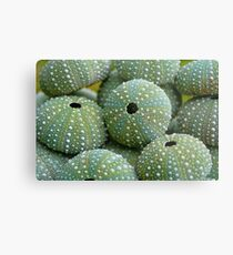 Sea Urchin Shells Metal Print