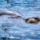 Hawaiian Monk Seal by NealStudios