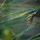 Blue Dragonfly by BrendanHouse