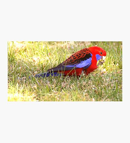 Crimson Rosella  ~ Lunch  Time ~ Photographic Print