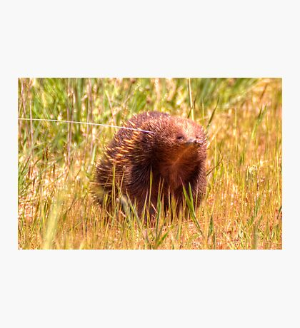 Please Wait I am coming  Echidna aka Spiny Ant Eater Photographic Print