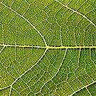 Fig Leaf Close-up by Kuzeytac