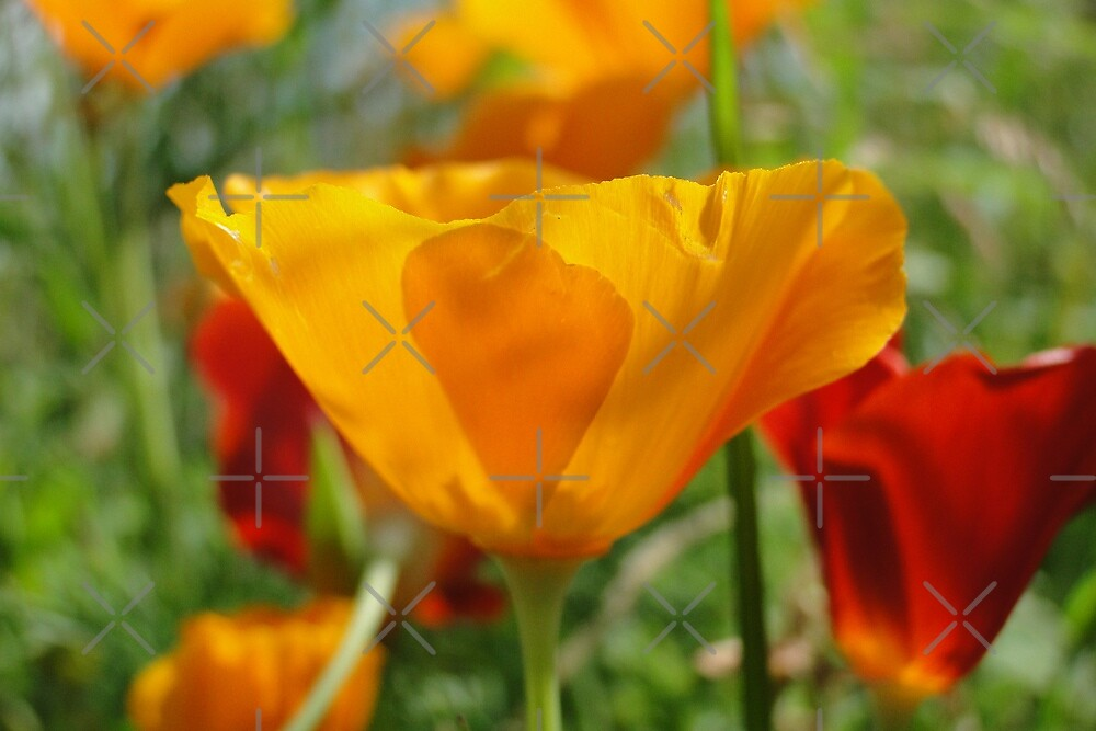 California Poppy  by Barrie Woodward