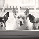 """How Much Are Those Corgis In The Window ?"" by Renee Blake"
