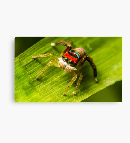 Juvenile Peacock Jumping Spider Canvas Print
