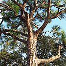 Australian Pine by gregAllore