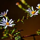 Foster Aster by Phillip M. Burrow