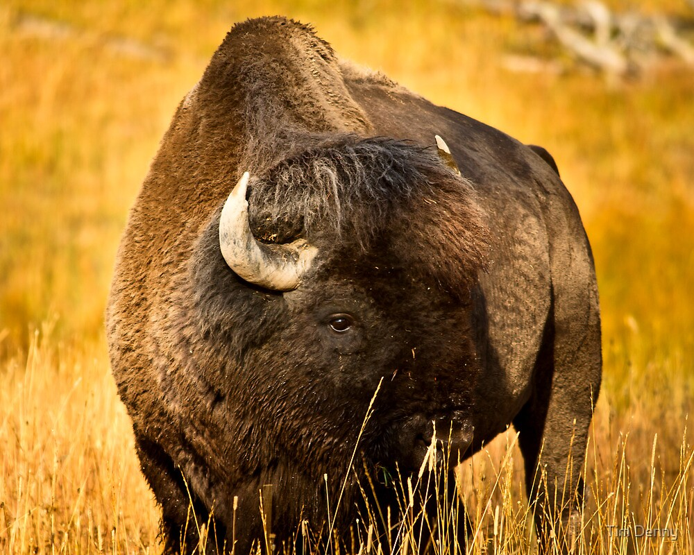 Peace Of The Bison by Tim Denny