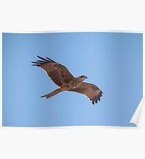 Black Kite (Milvus migrans) Poster