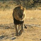 Moremi Lion by Donald  Mavor