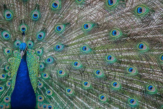 Peacock 3 of 3 by Sevenhills