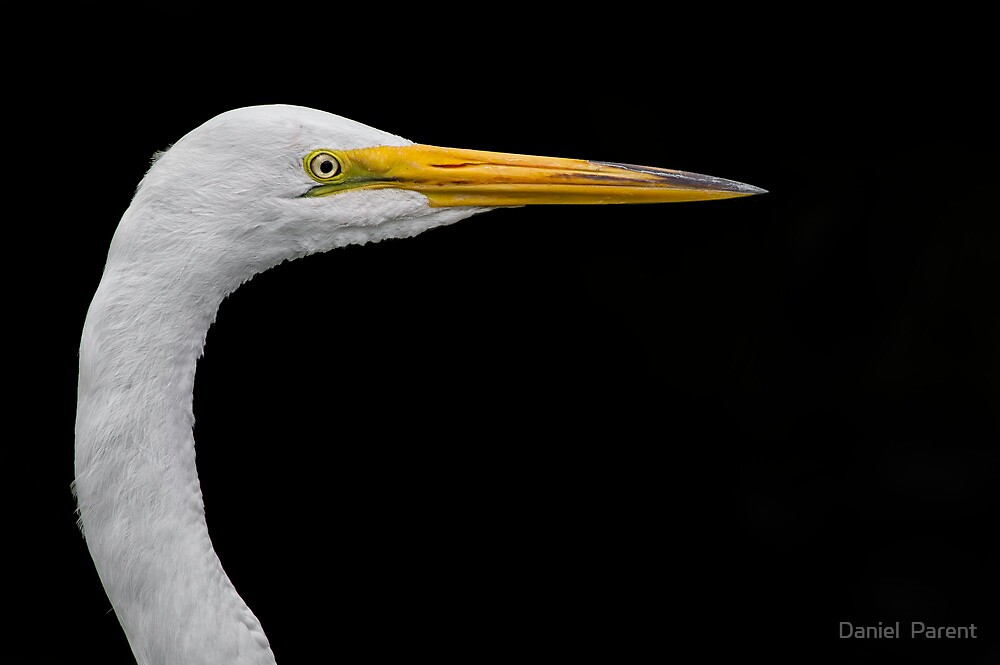 White on black Egret by Daniel  Parent