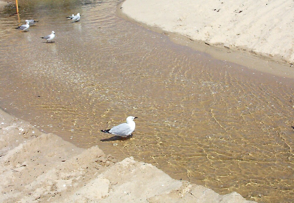 Gulls In Water One - 20 10 12 by Robert Phillips