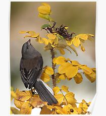 Rosy Slate Colored Junco Poster