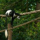Black and White Colobus by fg-ottico