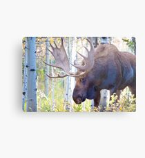 Sad Ending For A Stunning Bull Moose Metal Print