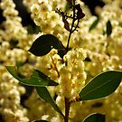 Serpentine Wattle by kalaryder