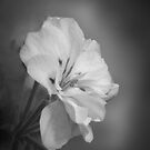 Petunia In  Moon Light Haze  by TheCandle