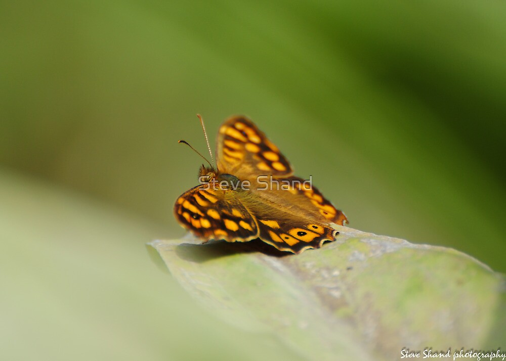 southern speckled wood by Steve Shand