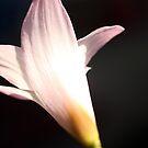 Rain Lily Back by gregAllore