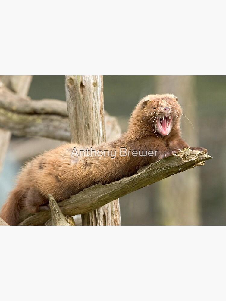 Mink yawn by dailyanimals