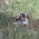Fallow Deer by Paul Gibbons