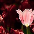Glowing Tulip by Kuzeytac