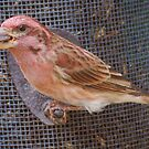 purple finch by Penny Fawver