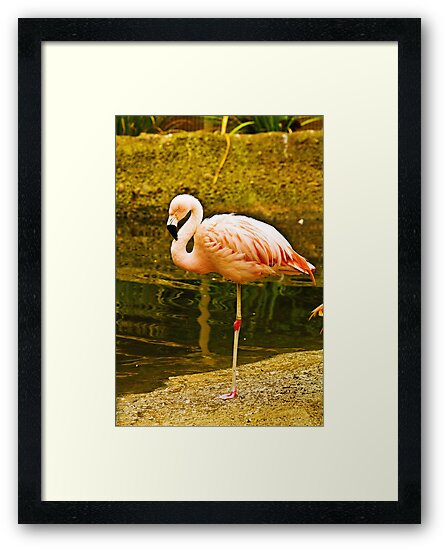 Caribbean flamingo by Thaddeus Zajdowicz