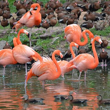 Flamingos and Ducks Flocking Together by CFC101