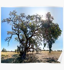 Eucalypt, Rural NSW Poster