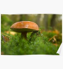 Little brown boletus  Poster