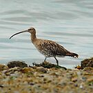 curlew  by Steve Shand