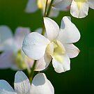 Thai Orchid by Stuart Robertson Reynolds
