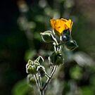 Golden glow by Celeste Mookherjee