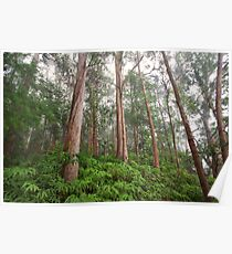 Gums in the mist at Springbrook, QLD Poster