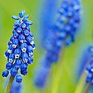 Grape Hyacinth by Stuart Robertson Reynolds