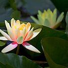 Water Lily by Stuart Robertson Reynolds